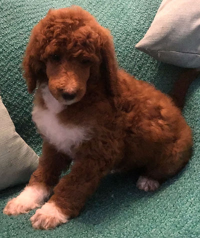 Red and white standard parti poodle
