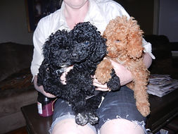 In home raised registered poodle puppies for sale 81514XX