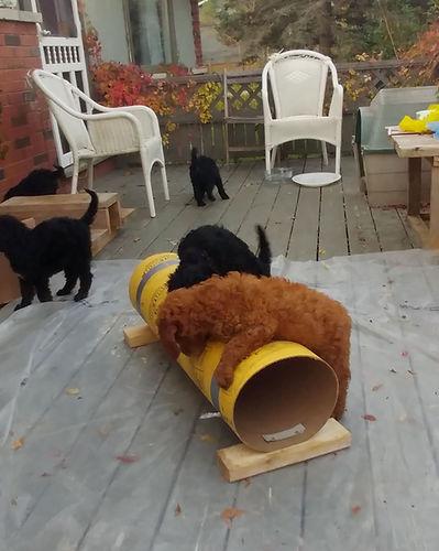Familys Standard Poodles