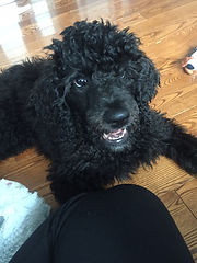 medium poodle puppies for sale responsible breeder