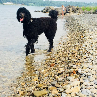 Giant standard poodle
