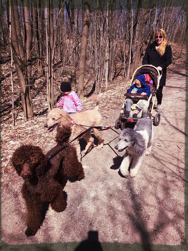 Familys Standard Poodles out for a walk
