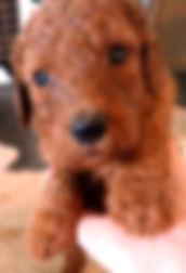 Red puppy edit.jpg