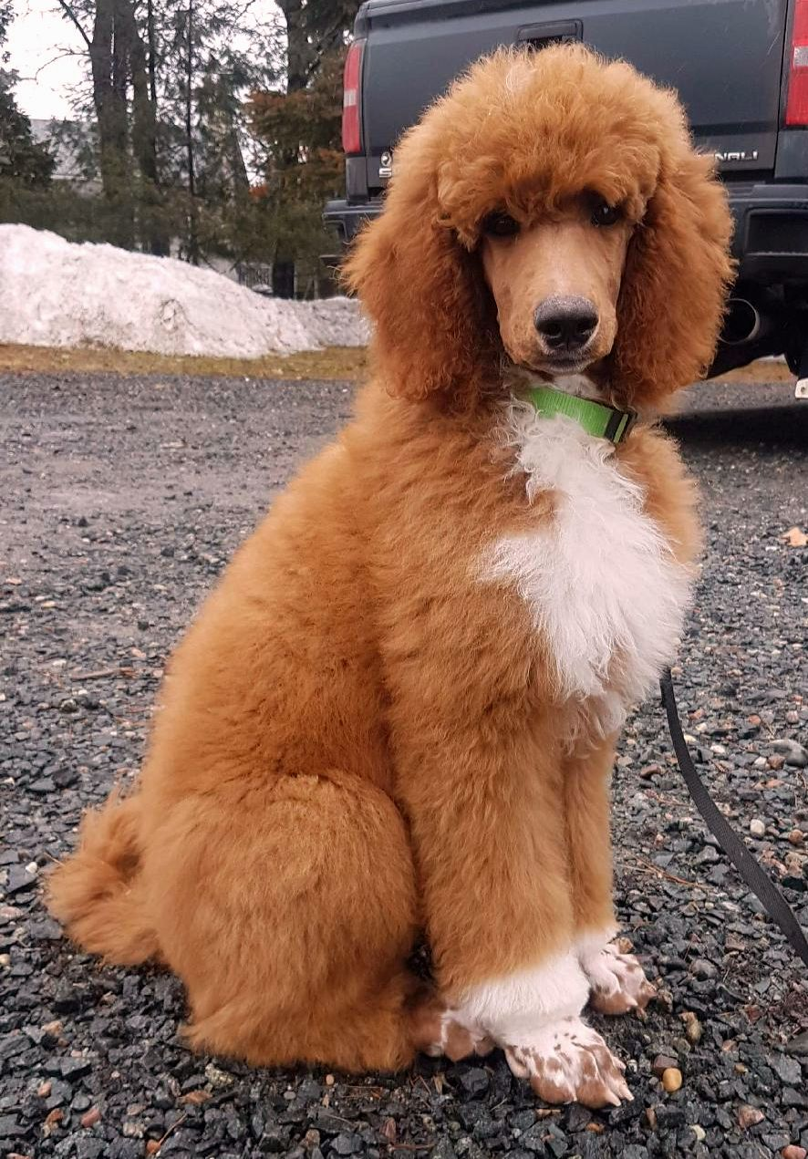 Family`s Standard Poodles | Standard Poodle Puppies for sale - Ontario