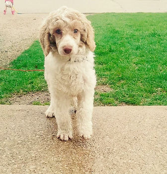 Red Male standard poodle for stud service
