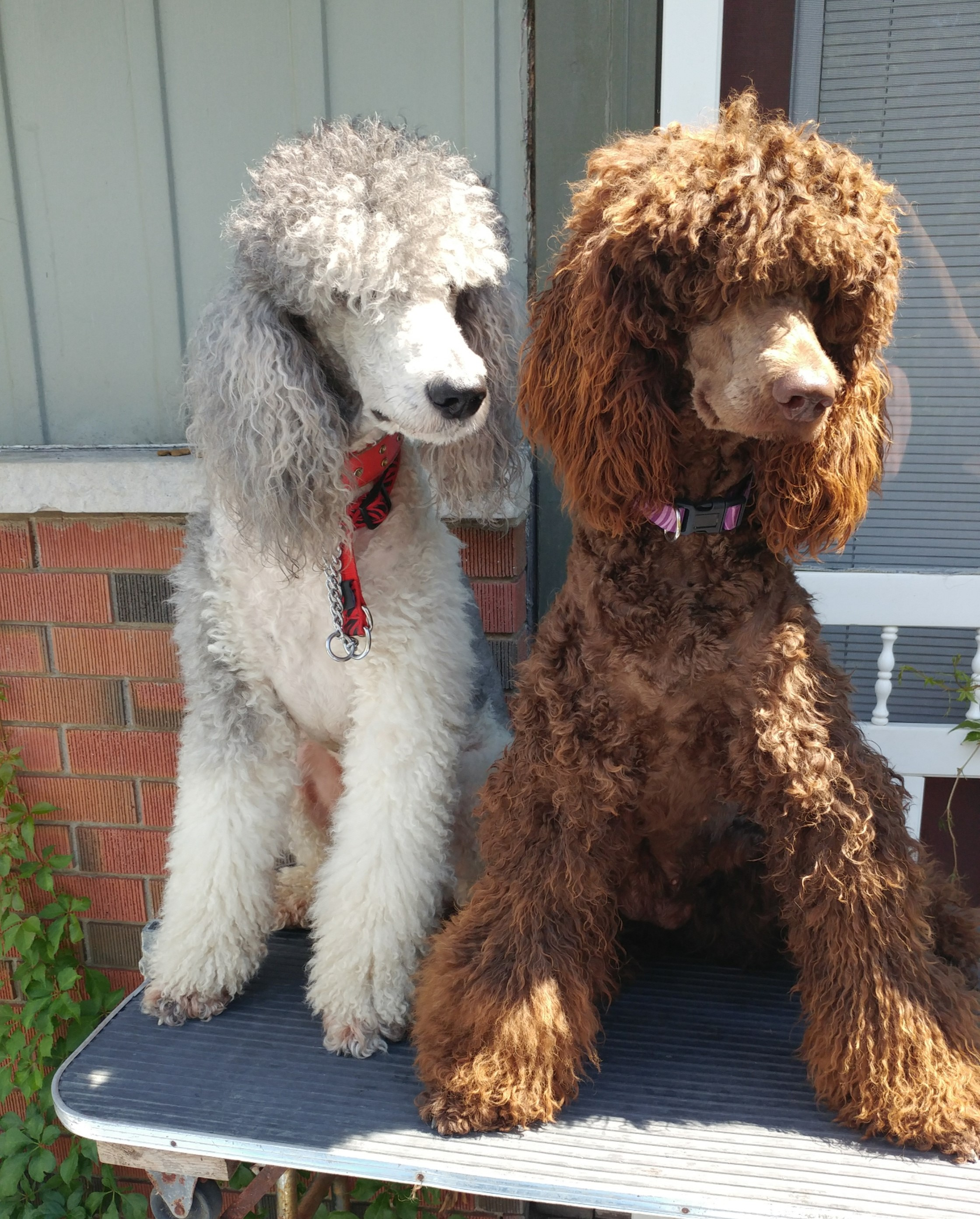Familys Standard Poodles Standard Poodle Puppies For Sale