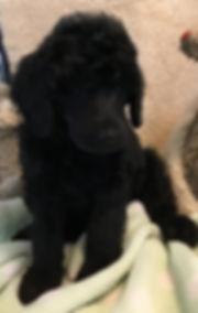 Black  Poodle for sale