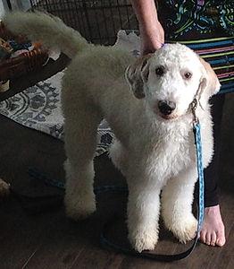 Standard Poodle for sale toronto