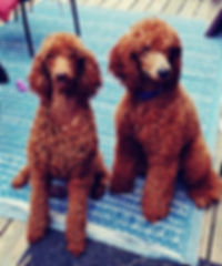 RED STANDARD POODLES FOR SALE