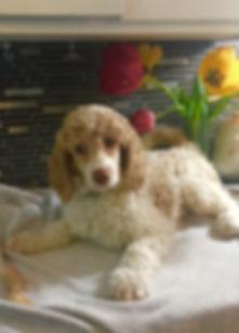 Familys Standard Poodles - Dog breeder ontario