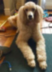 Female Standard Poodle