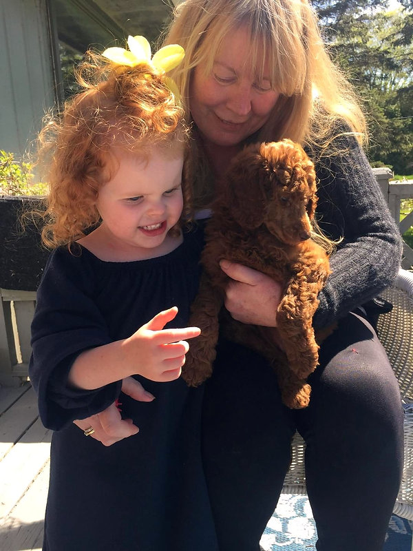 Red Standard Poodle Puppies