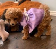 Poodle Puppy in dress