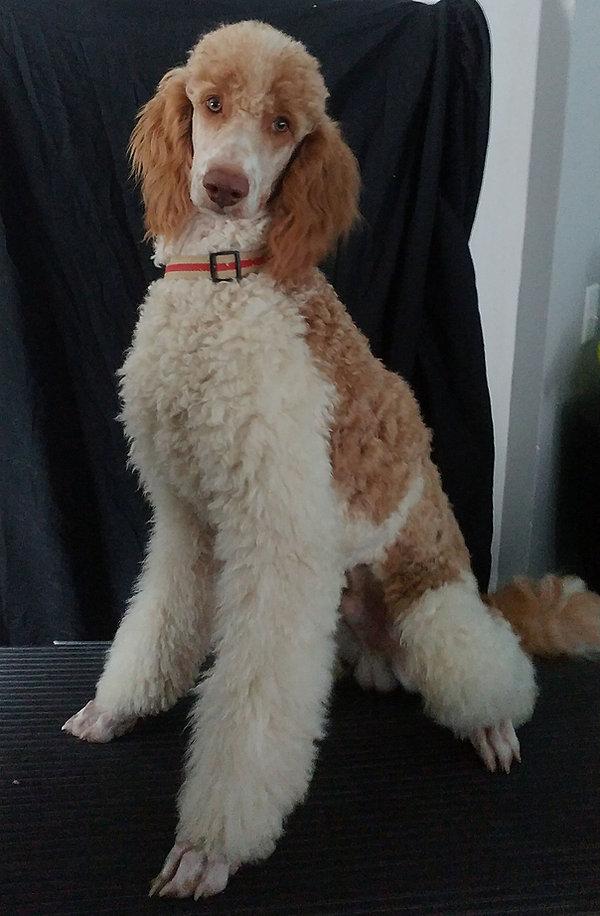 Standard poodle breeders