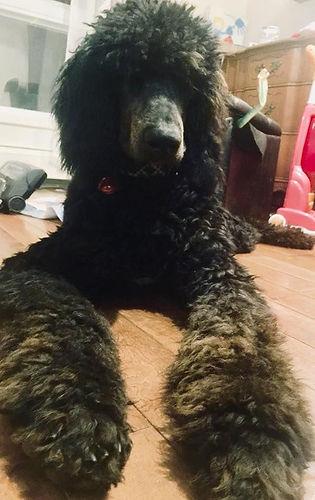 Large standard poodle