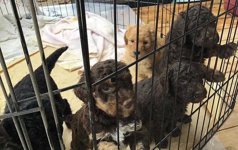Poodles for sale