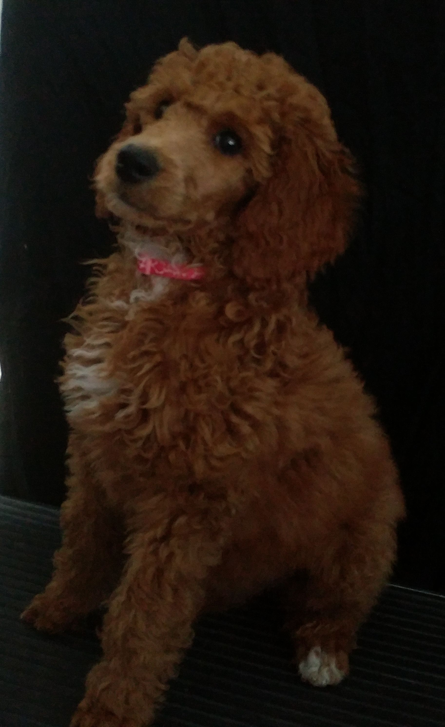 Family`s Standard Poodles | Standard Poodle Puppies for sale