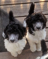 Large poodles for sale in owen sound ontario