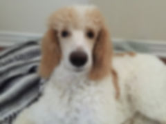Phantom Standard Poodle puppies for sale Gabrielle Slack
