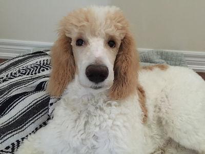 Phantom Standard Poodle puppies for sale Gabrielle Slack