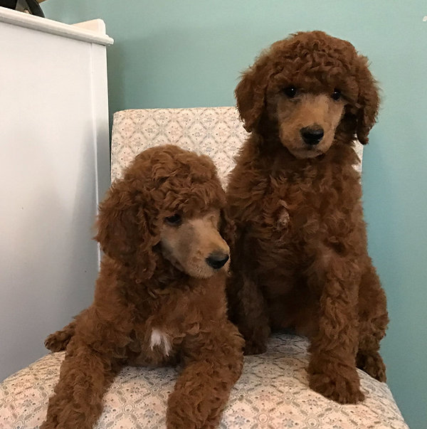 red standard poodles