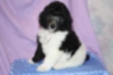 Poodle show dog