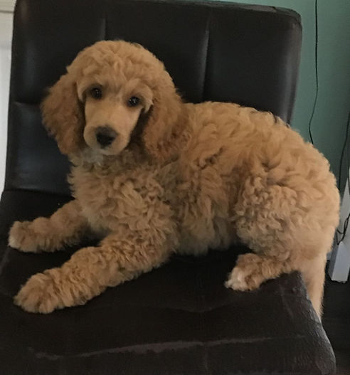 Family`s Standard Poodles | Available Puppies | Poodles For Sale