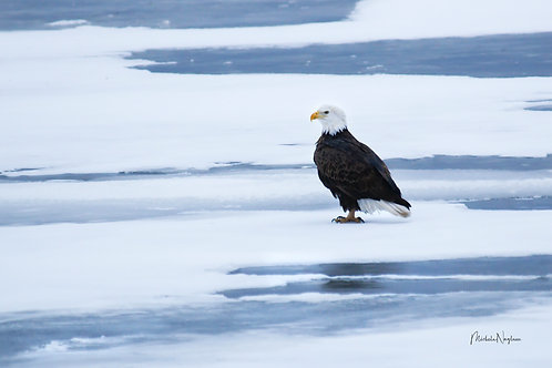 Floating Bald Eagle