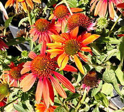 Adobe Orange Echinacea.jpg