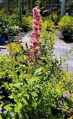 spirea - douglas - nursery.jpg