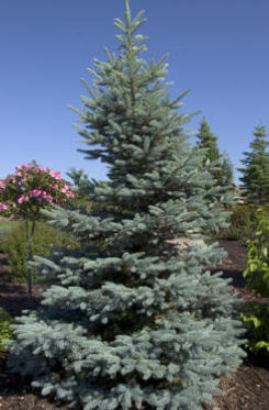 Spruce Fat Albert.jpg