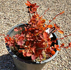barberry - toscana (nursery).jpg