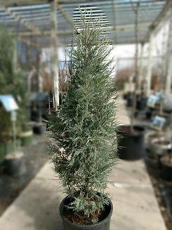 medora juniper - nursery.jpg