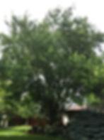 Honeylocust Imperial (2)_edited.jpg