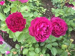 Rose%20Twilight3_edited.jpg