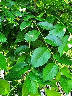 elm - prairie expedition - leaf (nursery