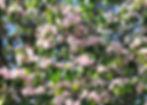 crab klehms bechtal (flowers).jpg