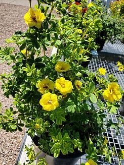 potentilla - citrus tart - nursery.jpg