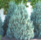 Juniper Wichita Blue.jpg