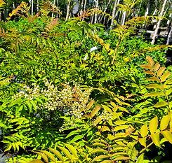 spirea - ash leaf - nursery2.jpg