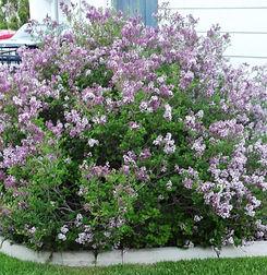 Lilac%20Dwarf%20Korean_edited.jpg