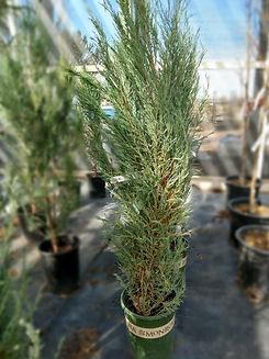 skyrocket juniper - nursery.jpg