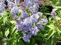 Lilac WedgewoodBlue.jpg