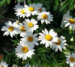 snowcap shasta daisy.jpg