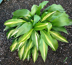 Hosta- cherry berry (nursery).jpg