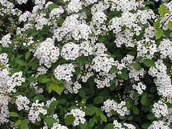 Spirea Renaissance Bloom.JPG