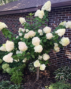 HYDRANGEA%20LIMELIGHT%20(TREE%20FORM)%20-%20WAY%20(3)_edited.jpg