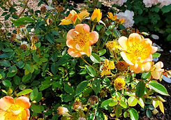 rose - oso easy paparika (nursery).jpg