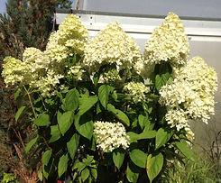 Hydrangea Limelight (flower)_edited.jpg