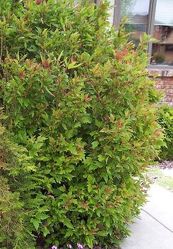 Cranberrybush Bailey.JPG